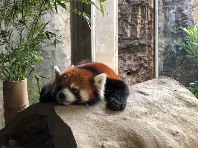 ズーラシア・亜寒帯の森・レッサーパンダ