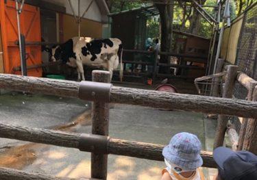 ふれあい動物広場・牛